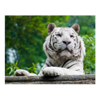 Weiße Tigerpostkarte Postkarte