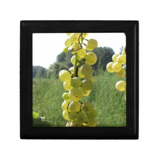 Weiße Trauben auf der Rebe. Toskana, Italien Geschenkbox