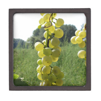 Weiße Trauben auf der Rebe. Toskana, Italien Kiste