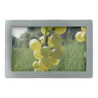 Weiße Trauben auf der Rebe. Toskana, Italien Rechteckige Gürtelschnalle