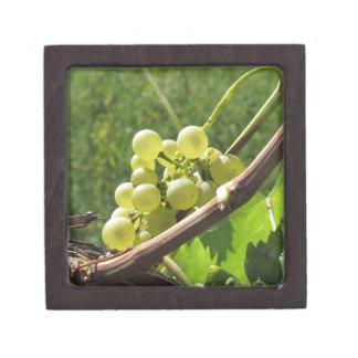 Weiße Trauben auf der Rebe. Toskana, Italien Schachtel
