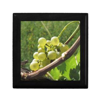 Weiße Trauben auf der Rebe. Toskana, Italien Schmuckschachtel