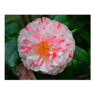 Weiße u. rosa Gartennelken-Blume Nahaufnahme Postkarten