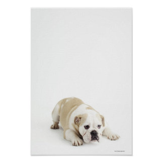 Weiße und tan Bulldogge Poster