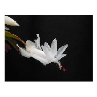 Weiße Weihnachtskaktuss-Blume Postkarte