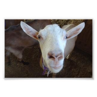 Weiße Ziege Photo Druck