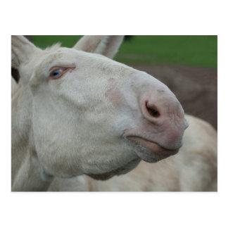 Weißer barocker Esel Postkarte