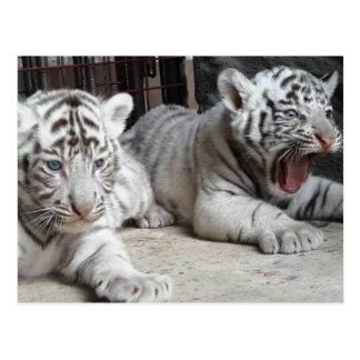Weißer bengalischer Tiger CUB, Trinidad-Postkarte Postkarte