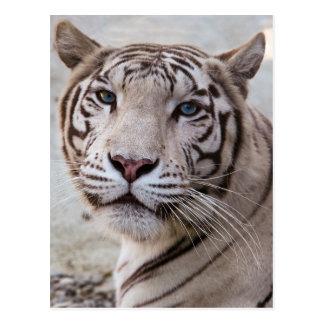 Weißer bengalischer Tiger Postkarte