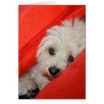 weißer Havaneser-Hund liegt auf orange Kissen Grußkarten