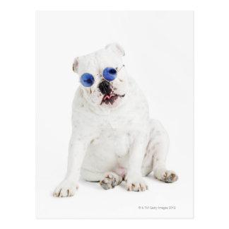 weißer Hintergrund, weiße Bulldogge, Blau abgetönt Postkarte