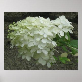 Weißer Hydrangeas-Plakat-Druck