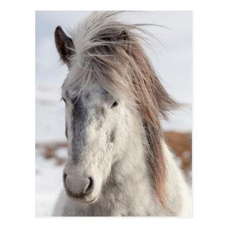 Weißer isländischer PferdeHeadshot Postkarte