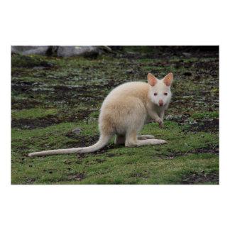 Weißer Känguru Poster