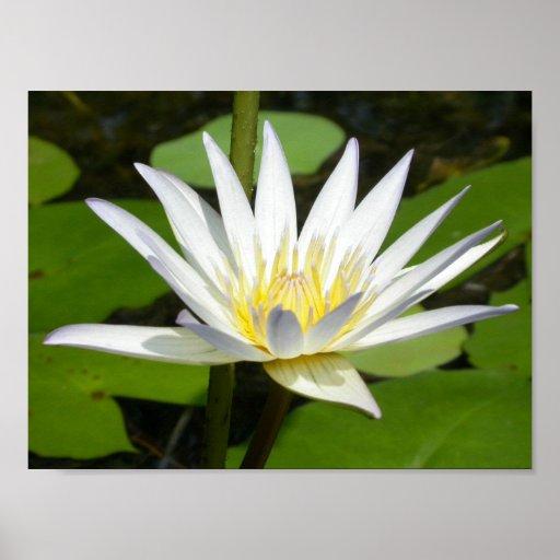 Weißer Lotos-Blumen-Plakat