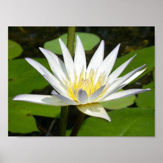 Weißer Lotos-Blumen-Plakat Poster