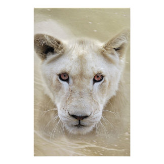 Weißer Löwe-Geist-Krieger Afrika Briefpapier