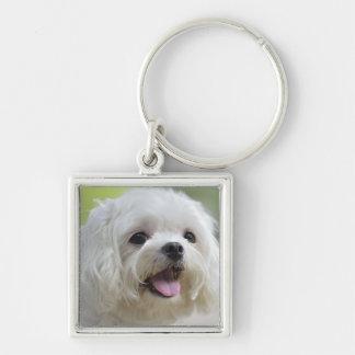 Weißer maltesischer Hund Schlüsselanhänger