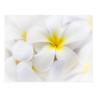 Weißer Plumeria-Blumefrangipani-BlumenBlumen Postkarte
