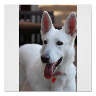 weißer Schäferhund Poster