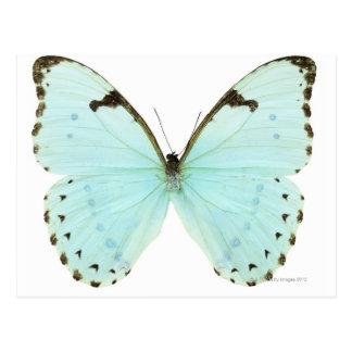 Weißer Schmetterling Postkarten