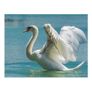 Weißer Schwan Postkarte