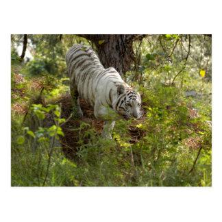 Weißer Tiger 010 Postkarte