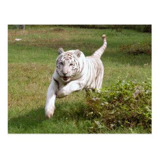 Weißer Tiger 3825e Postkarte