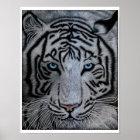Weißer Tiger - Casper Poster