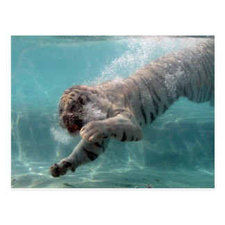 Weißer Tiger, der beten anstrebt Postkarte