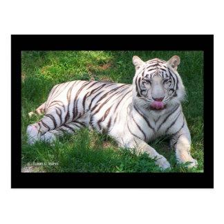 Weißer Tiger mit blauen Augen Nase leckend Postkarte