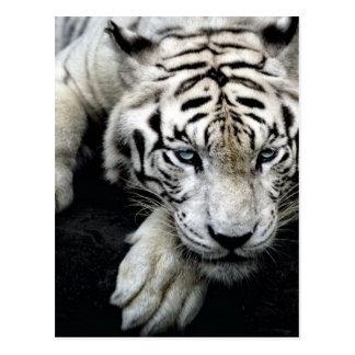 Weißer Tiger Postkarte