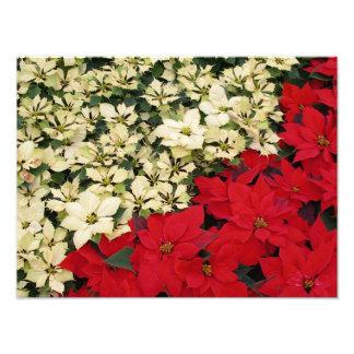 Weißer und roter Feiertag der Poinsettia-I mit Fotografische Drucke