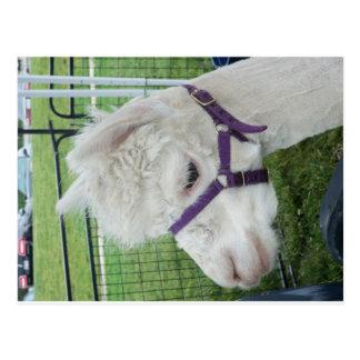 Weißes Alpaka, 1 Postkarte