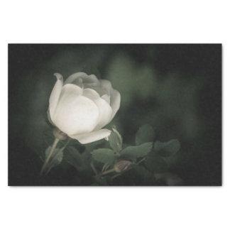 Weißes Dogrose auf einem dunklen Hintergrund Seidenpapier