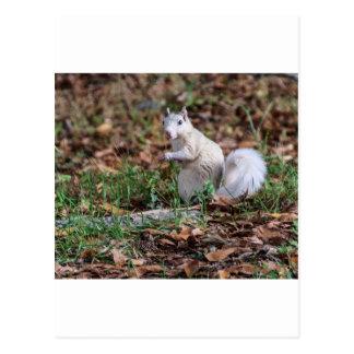 Weißes Eichhörnchen von Brevard Postkarte