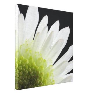 Weißes Gänseblümchen auf Schwarzem Leinwanddruck