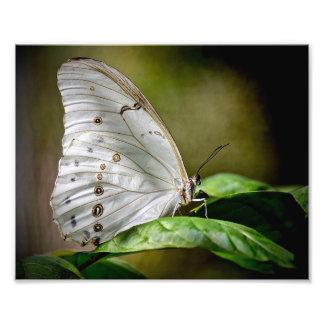 Weißes Morpho Fotodruck