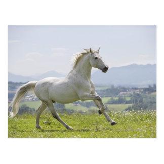 weißes Pferd, das auf Wiese läuft Postkarte