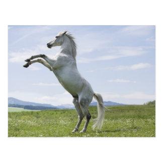 weißes Pferd, das auf Wiese springt Postkarte