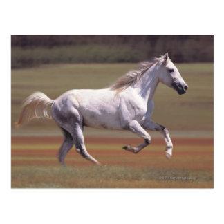 Weißes Pferd, das in Feld läuft Postkarte