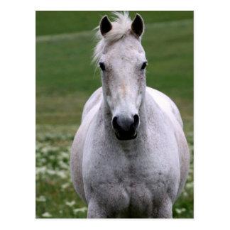 Weißes Pferd in der Feld-Postkarte Postkarte
