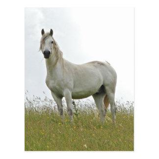 Weißes Pferd Postkarten