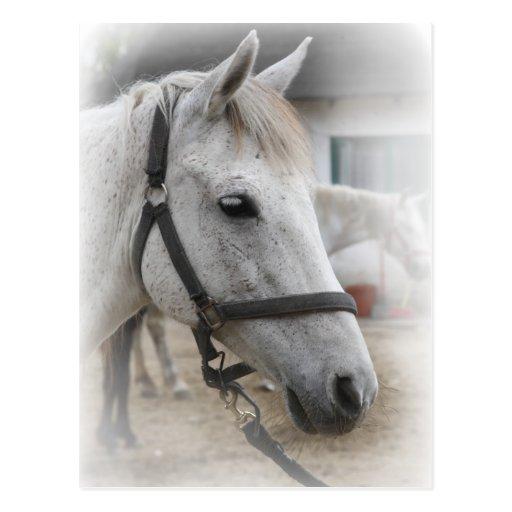 Weißes Pferdeporträt Postkarten