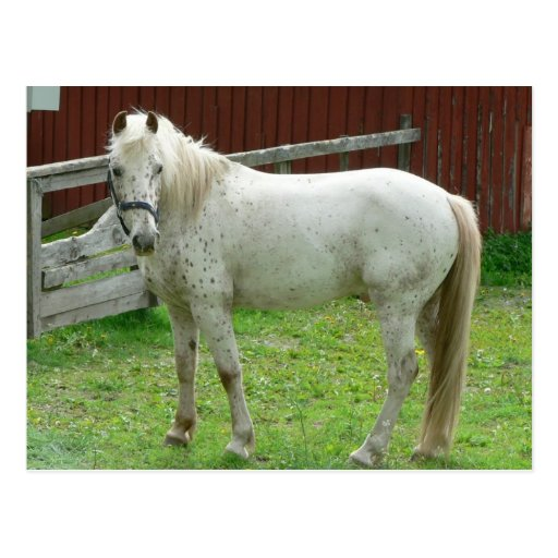 Weißes Pferdepostkarte Postkarte