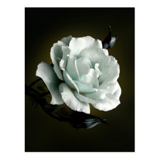 Weißes Rosen-Foto auf schwarzem Hintergrund Postkarte