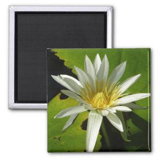 Weißes schöner Wasser-Garten der Wasserlilie-II Quadratischer Magnet