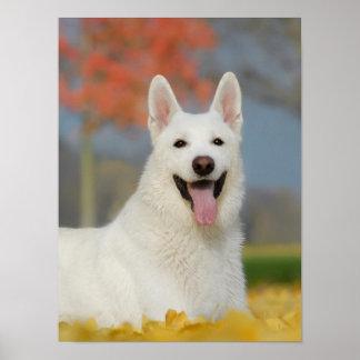 Weißes Schweizer Schäfer-HundeFoto, niedlicher Poster
