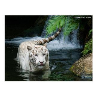 Weißes Tiger-Wasser Postkarte