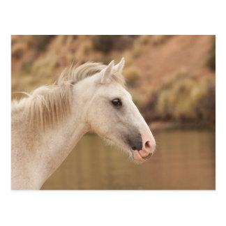 Weißes wildes Pferd Postkarte